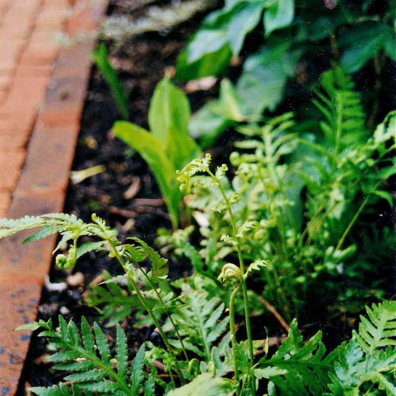 Fern and brick path
