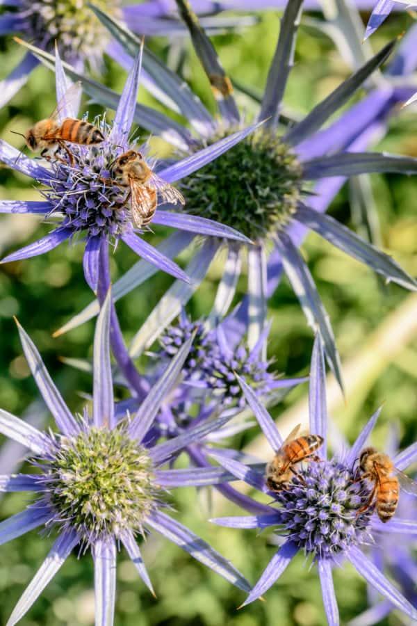 Bees on Erygnium